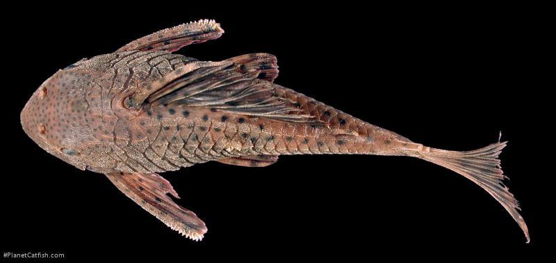 Hypostomus macushi