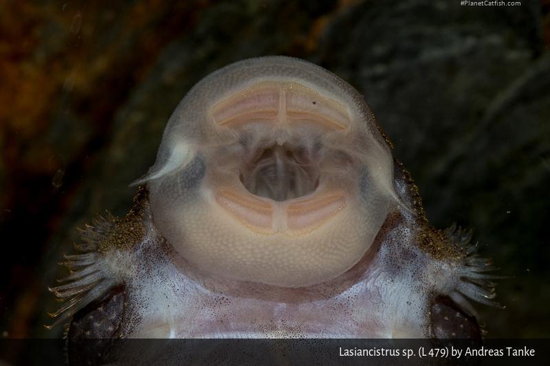 Lasiancistrus sp. (L479)