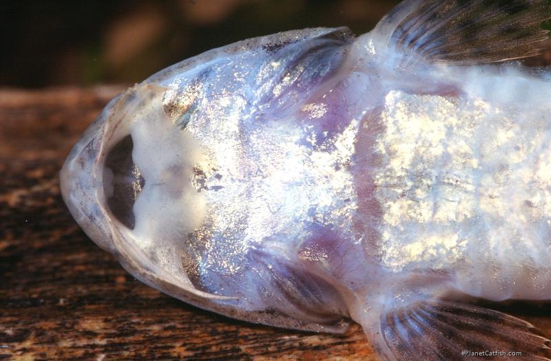 Metaloricaria paucidens