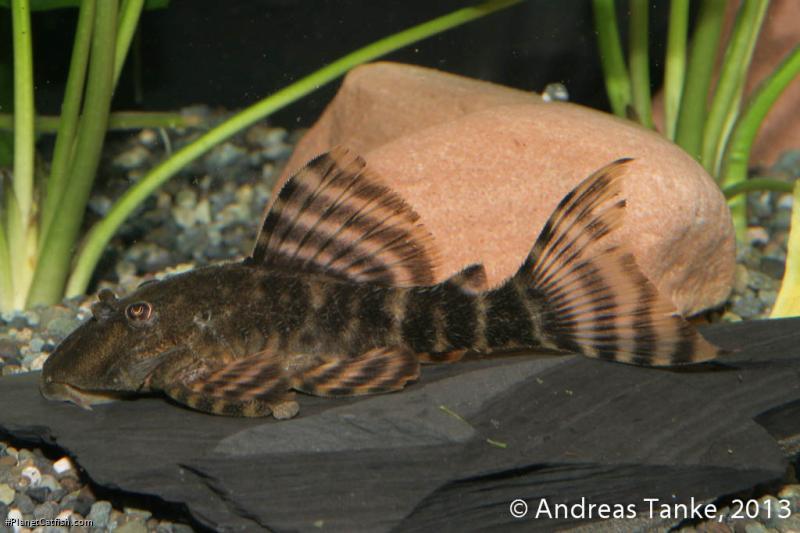 Panaqolus sp. (L459)