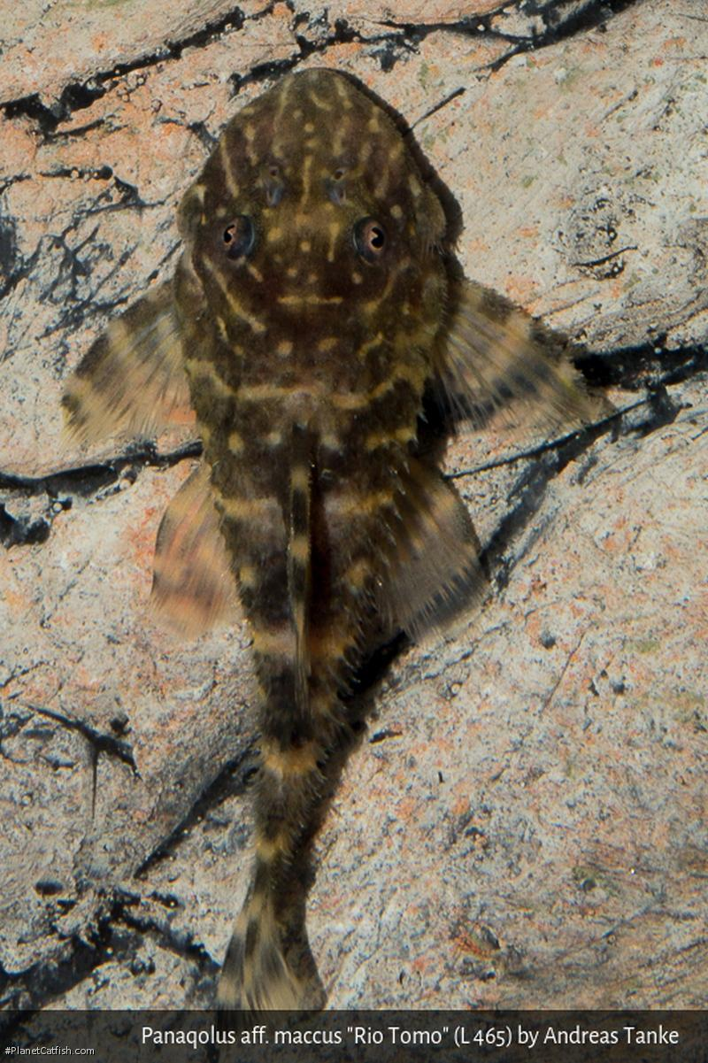 Panaqolus sp. (L465)