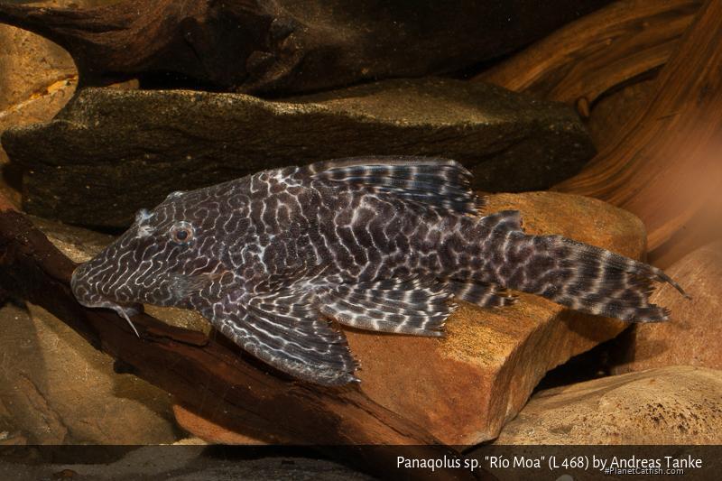 Panaqolus sp. (L468)
