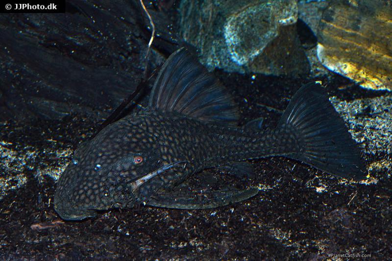 Panaque nigrolineatus laurafabianae