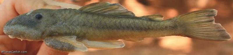 Pareiorhaphis lineata