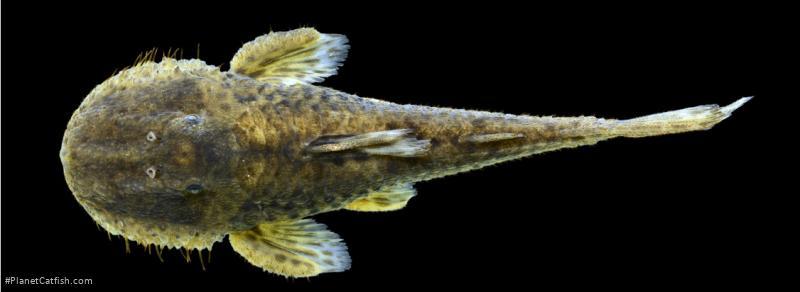 Pareiorhaphis vetula