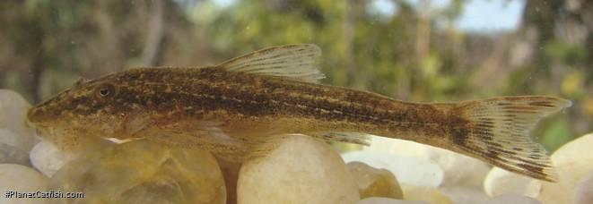 Parotocinclus cabessadecuia
