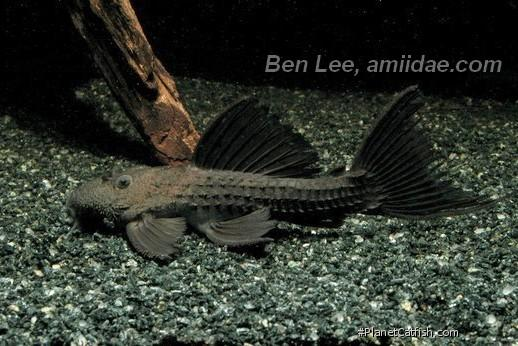 Pseudacanthicus sp. (L320)