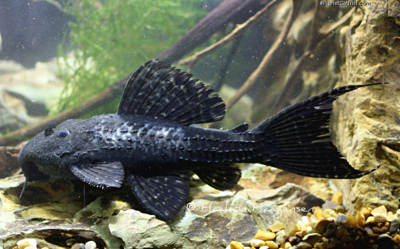 Pseudacanthicus sp. (L452)