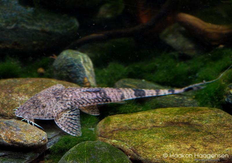 Giant Whiptail Catfish - Pseudohemiodon laticeps (Regan, 1904)