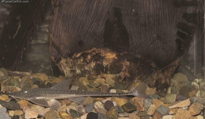 Pseudohemiodon unillano