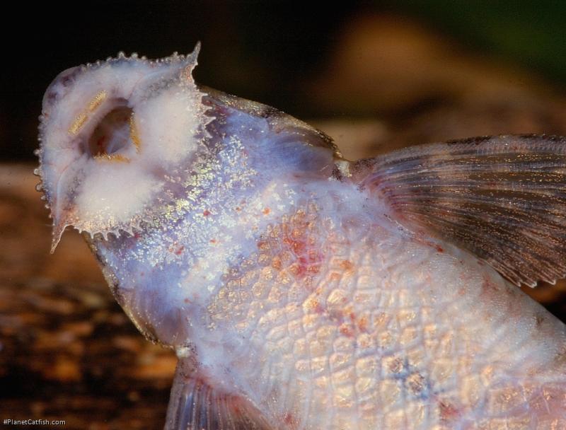 Rineloricaria sp. (2)