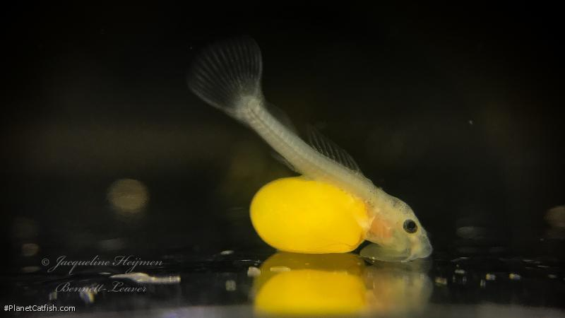 Spectracanthicus sp. (L354)