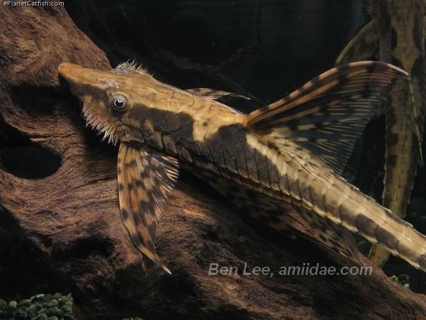 Sturisomatichthys reinae