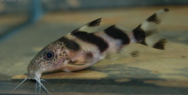 Synodontis sp. hybrid(5)
