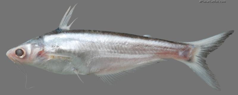 Pangasius macronema