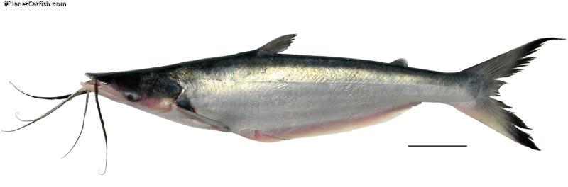 Hypophthalmus marginatus
