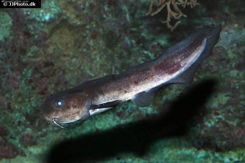 Plotosus lineatus
