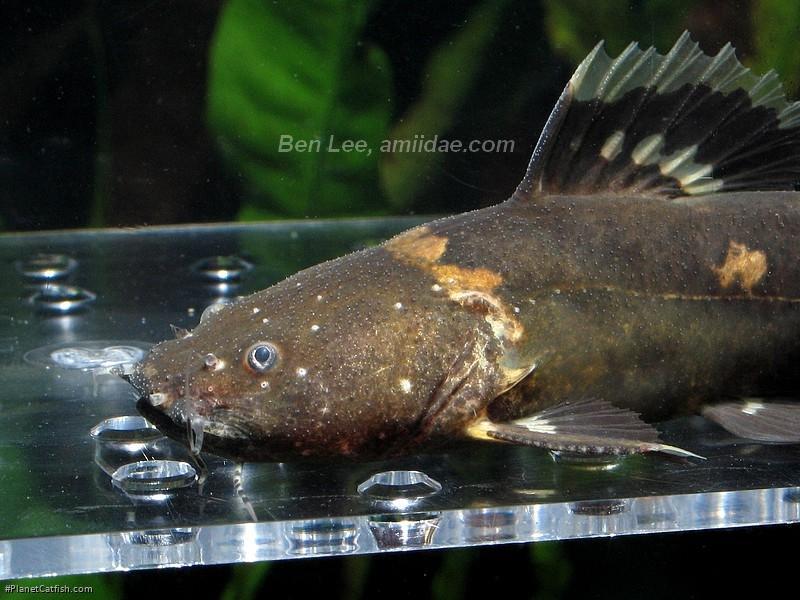 Batrochoglanis raninus