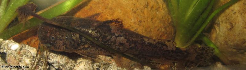 Microglanis variegatus
