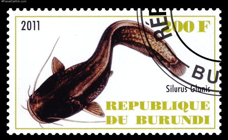 Silurus glanis