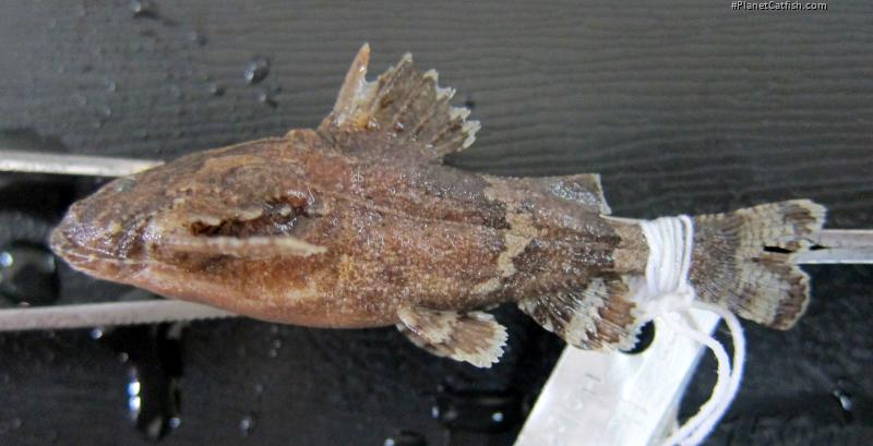 Erethistes koladynensis