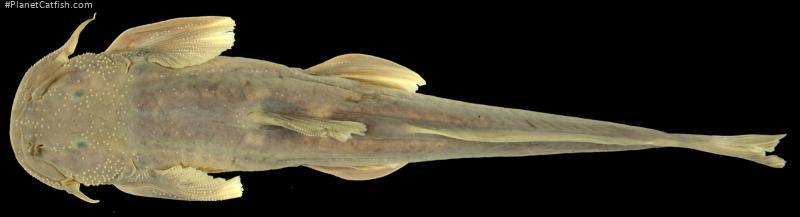 Exostoma ericinum
