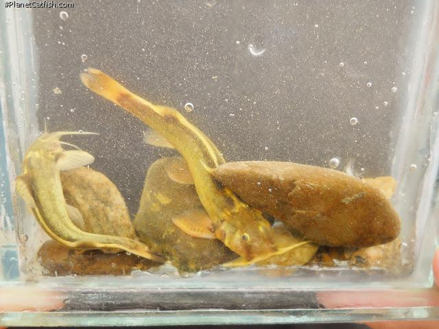 Glyptothorax cf. pectinopterus