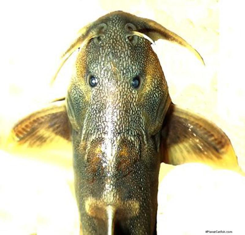 Glyptothorax chavomensis