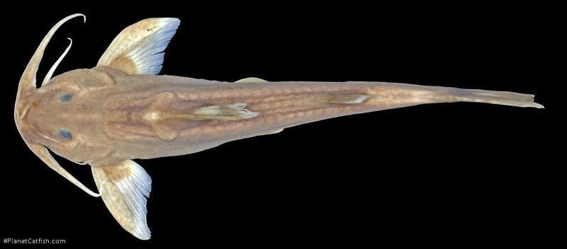 Glyptothorax igniculus