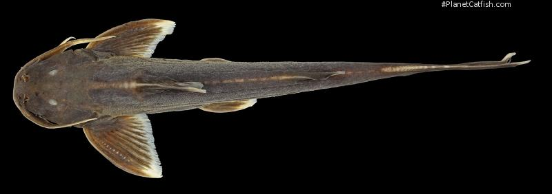 Glyptothorax porrectus