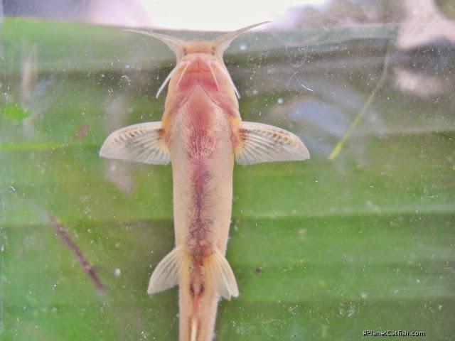 Glyptothorax telchitta