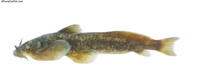 Parachiloglanis drukyulensis