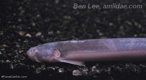 Pareiodon microps
