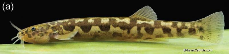 Trichomycterus albinotatus
