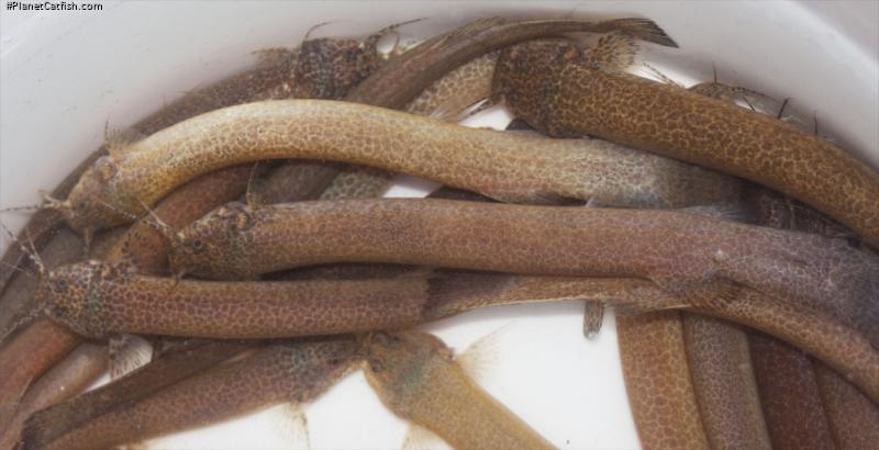 Trichomycterus gabrieli
