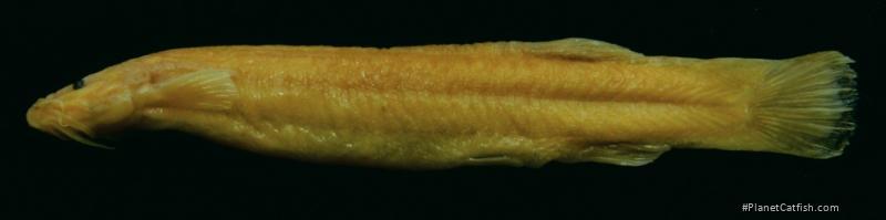 Trichomycterus mogotensis