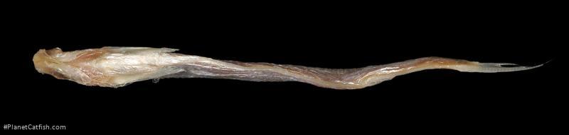 Ailiichthys punctata