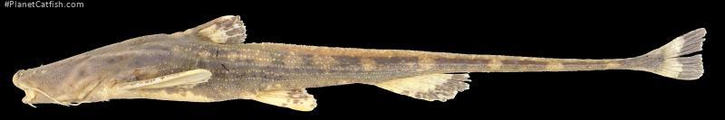 Breitensteinia insignis