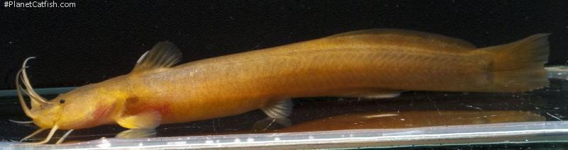 Amblyceps cerinum