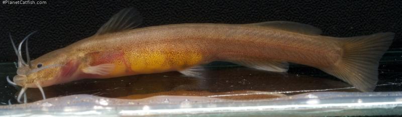 Amblyceps laticeps