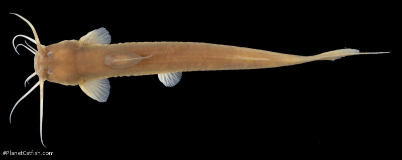 Amblyceps protentum