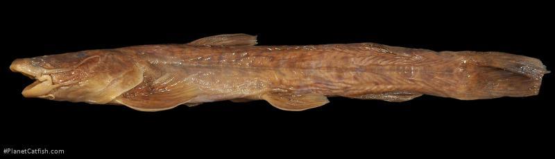 Amphilius grandis