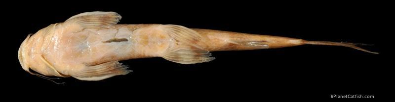 Amphilius jacksonii
