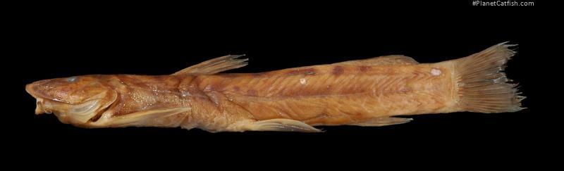 Amphilius krefftii