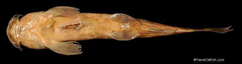 Amphilius longirostris