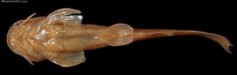 Amphilius natalensis