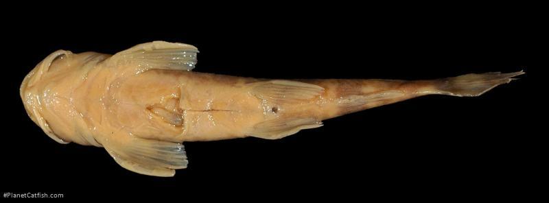 Amphilius opisthophthalmus