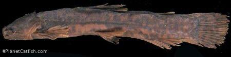 Paramphilius baudoni