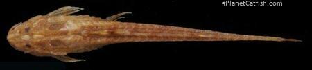 Trachyglanis sanghensis