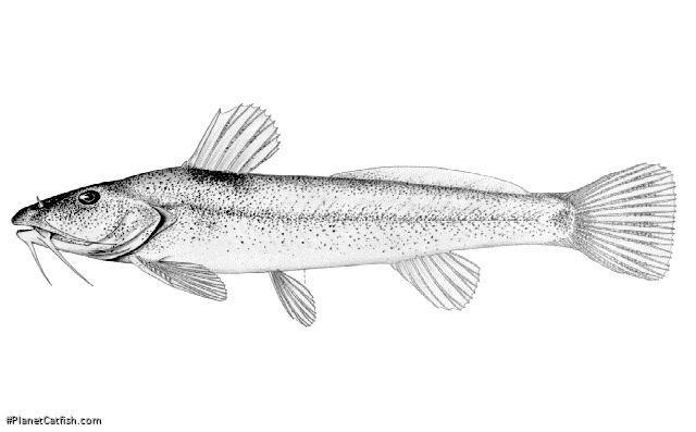 Zaireichthys flavomaculatus